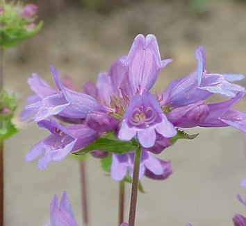 Penstemon serrulatus 1 flower