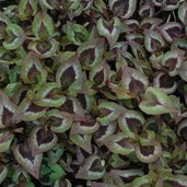 Persicaria 'Langthorns Variety'