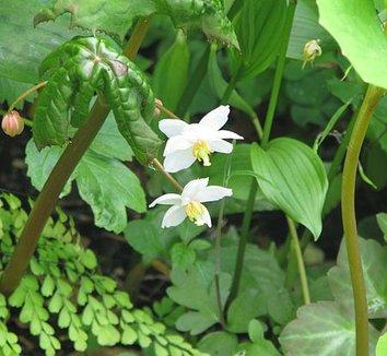 Podophyllum aurantiocaule 1 flower