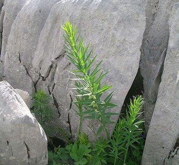 Polygonatum verticillatum 1 form
