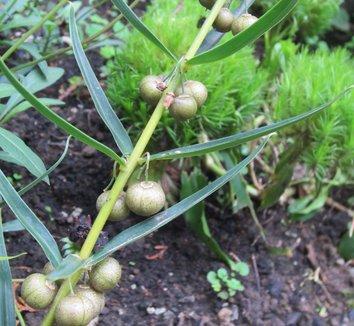 Polygonatum verticillatum 10 fruit