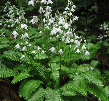 Pteridophyllum racemosum 1 flower, form