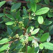 Rhamnus californica
