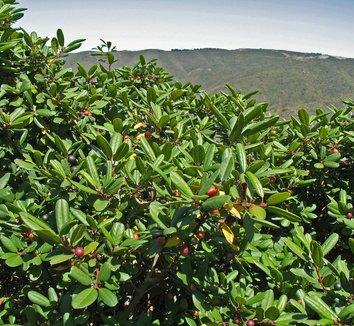 Frangula californica 9