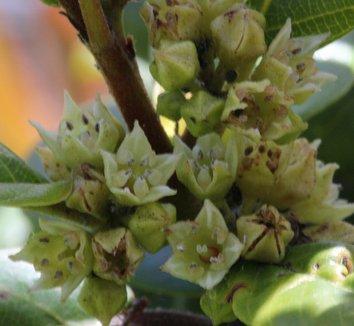 Frangula californica 6 flower