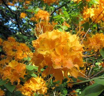 Rhododendron calendulaceum 2