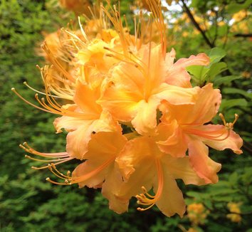Rhododendron calendulaceum 4 flower