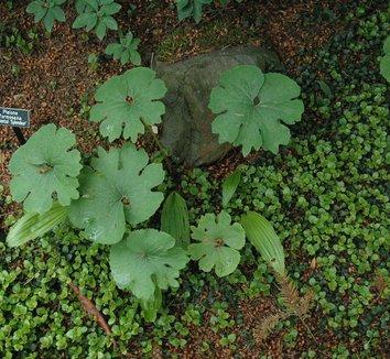 Sanguinaria canadensis 2