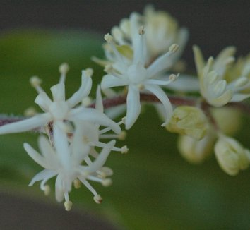Smilacina japonica 3 flower