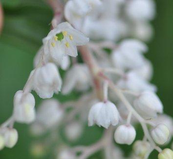 Smilacina oleraceum 4 flower