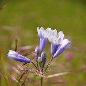 Triteleia grandiflora var. howellii