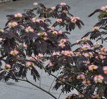Albizia julibrissin 'Summer Chocolate' 1 flower