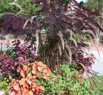 Albizia julibrissin 'Summer Chocolate' 3