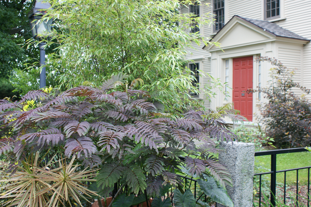 Photo #22455   Albizia julibrissin  u0026#39;Summer Chocolate u0026#39;   plant lust