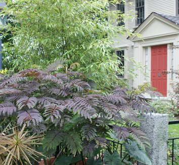 Albizia julibrissin 'Summer Chocolate' 6