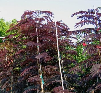 Albizia julibrissin 'Summer Chocolate' 9