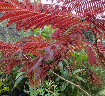 Albizia julibrissin 'Summer Chocolate' 16