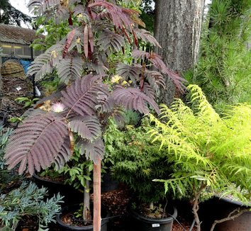Albizia julibrissin 'Summer Chocolate' 13 flower
