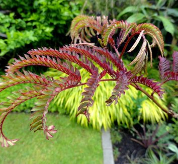 Albizia julibrissin 'Summer Chocolate' 17