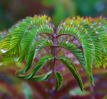 Albizia julibrissin 'Summer Chocolate' 24