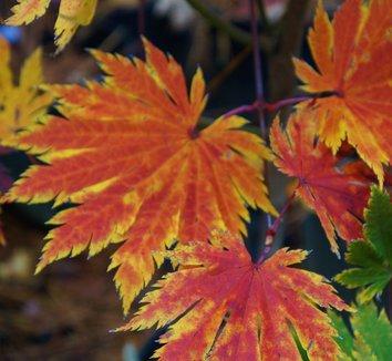 Acer japonicum 'O isami' 9