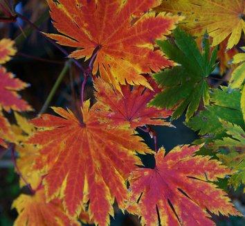 Acer japonicum 'O isami' 10