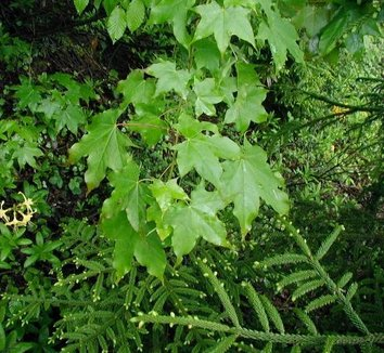 Acer cappadocicum 3