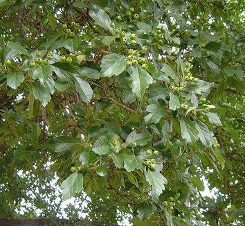 Crataegus grignonensis 3 fruit