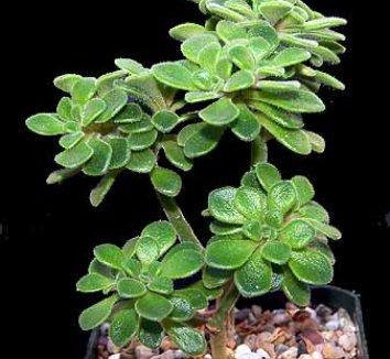 Aichryson tortuosum 3