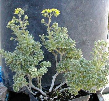 Aichryson tortuosum 4 flower, form