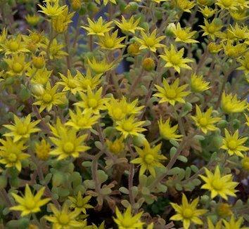 Aichryson tortuosum 5 flower