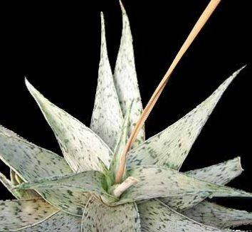 Aloe 'White Stag' 1