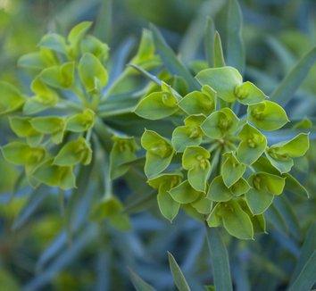 Euphorbia 'Dean's Hybrid' 1 flower