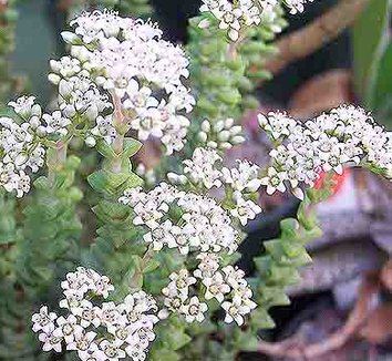 Crassula 'Tom Thumb' 4 flower