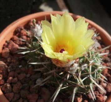Parodia mammulosa ssp. submammulosus 3 flower, form