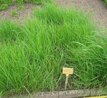 Stipa calamagrostis 2 form
