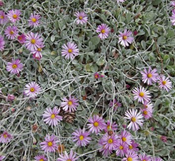 Corethrogyne filaginifolia 'Silver Carpet' 1 flower
