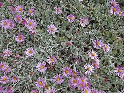 Corethrogyne Filaginifolia Silver Carpet Aplopappus