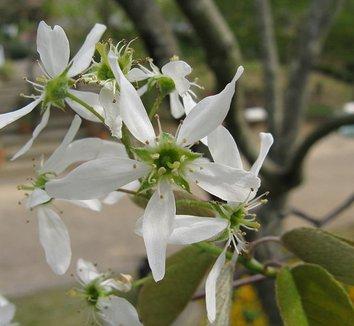 Amelanchier asiatica 2 flower
