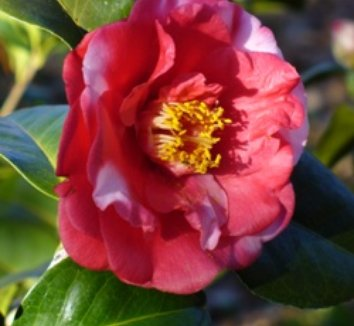 Camellia japonica 'All American Beauty' 1 flower
