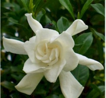 Gardenia jasminoides 'August Beauty' 1 flower
