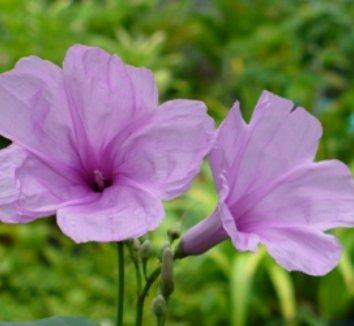 Ipomoea carnea ssp. fistulosa 1 flower