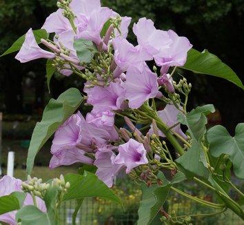 Ipomoea carnea ssp. fistulosa 4 flower