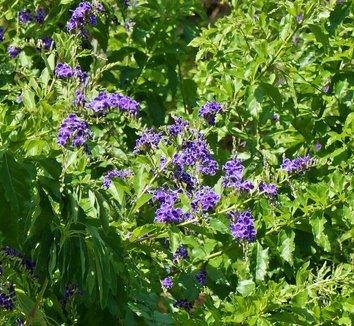 Duranta erecta 5 flower