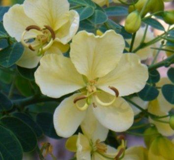 Senna bicapsularis 'Worley's Butter Cream' 1 flower