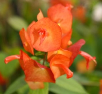 Holmskioldia sanguinea 1 flower