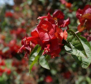 Holmskioldia sanguinea 4 flower