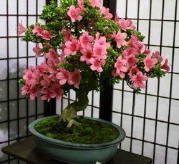 Azalea 'Chinsei' 1 form