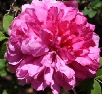 Rosa roxburghii 1 flower