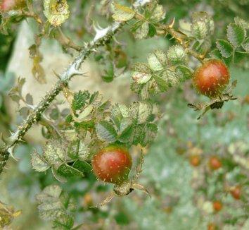 Rosa roxburghii 4 fruit